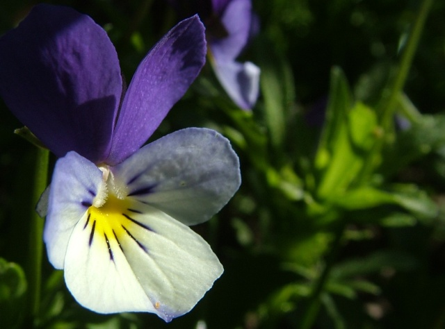 Violet in the garden