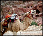 Camel smiles in Petra